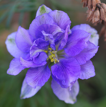 delphinium from seed