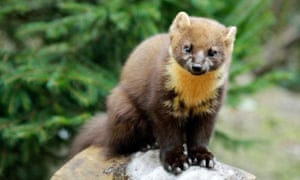 Pine martens were believed to have been made extinct in southern England