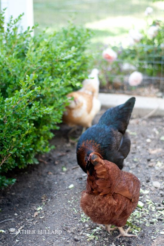 Backyard Chickens | Heather Bullard
