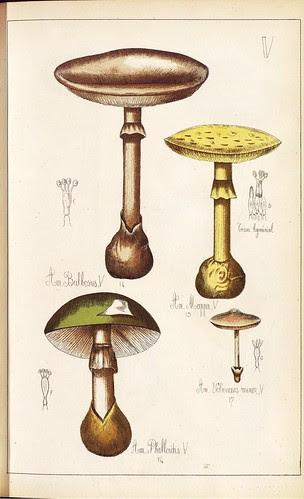 Amanita bulbosus et mappa et phalloides