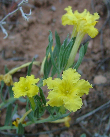 Puccoon in Rattlesnake Canyon