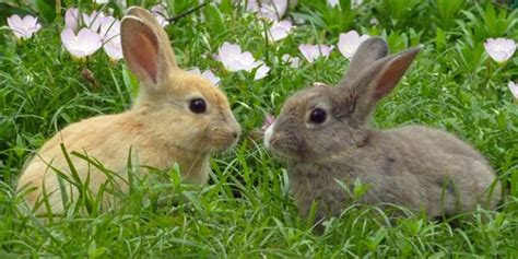 jenis jenis kelinci    ketahui gedubarcom