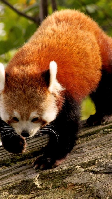 wallpaper red panda animal nature branch green fur