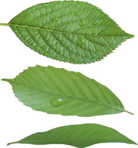 green leaf png hq png image freepngimg