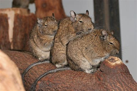 What is a Degu?   Degu Cage