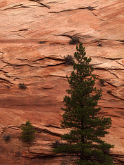 Pine Tree and Cliff Face