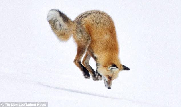 Πεινασμένη αλεπού αναζητώντας ποντίκια στο χιόνι