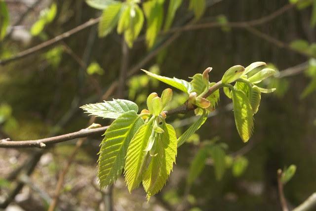 DSC_6517 Sweet Chestnut leaves