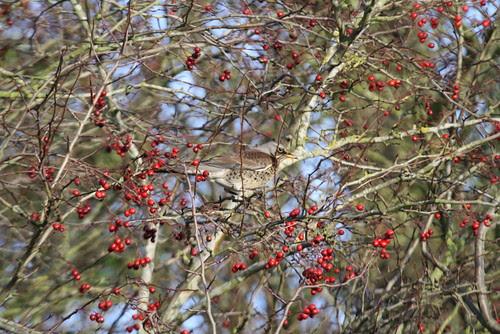 Fieldfare feeding on berries