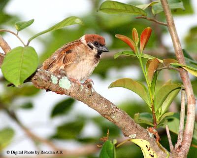 Portrait of Sparrow Passer Montanus