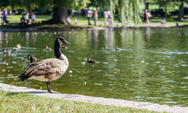 Canada goose, watching