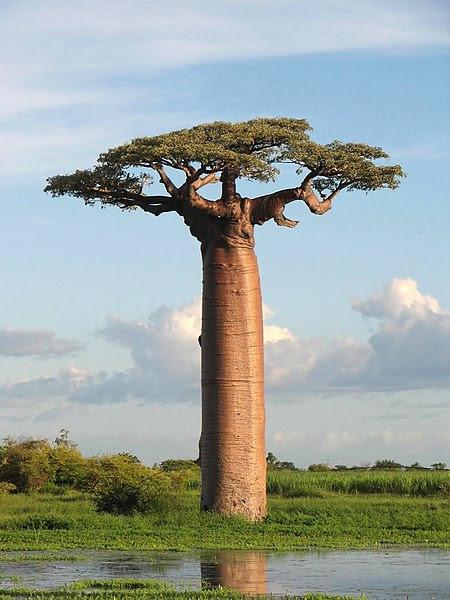 File:Adansonia grandidieri04.jpg