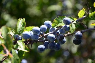 grapes_2_by_ammarkov1-d5habhk