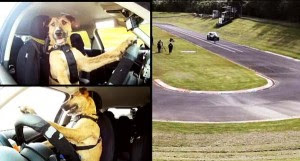 perierga.gr - Ο πρώτος σκύλοςοδηγός αυτοκινήτου!