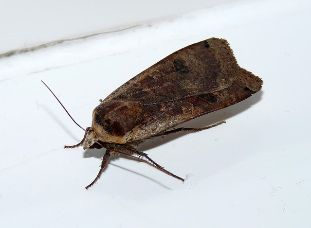 24813 - Large Yellow Underwing