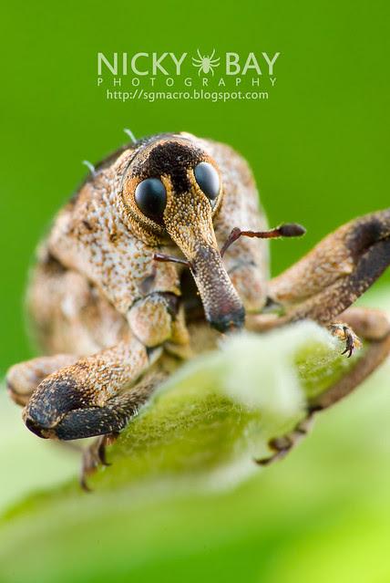 Weevil (Curculionidae) - DSC_9392