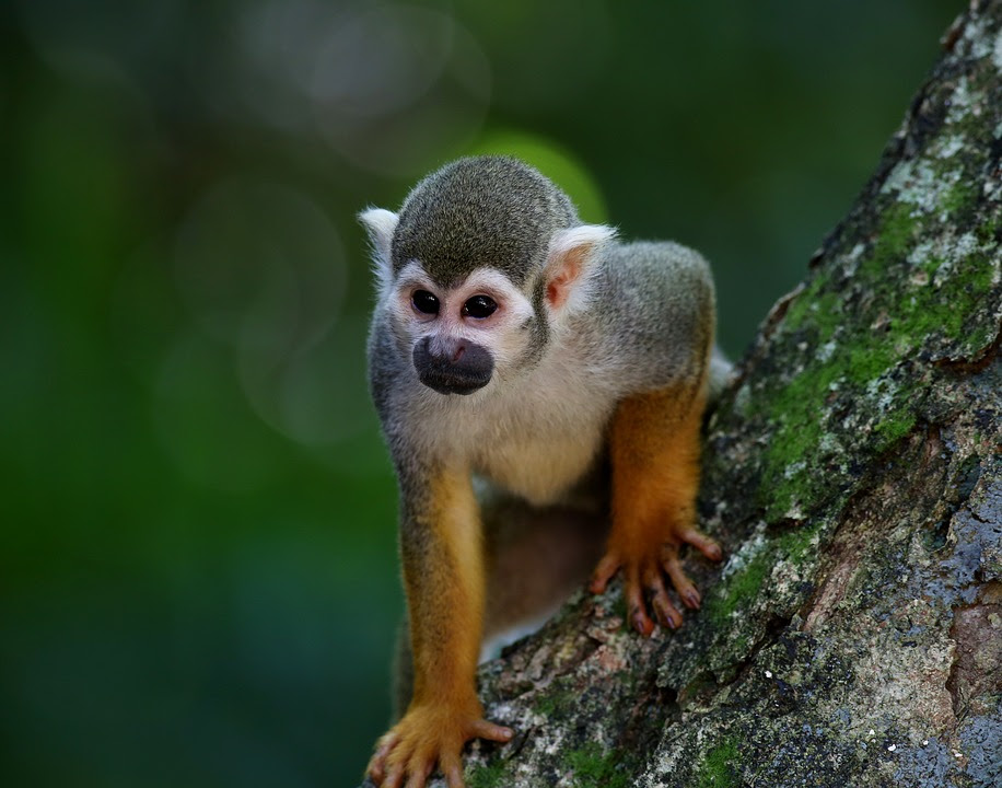 Image result for Maimuta guenon