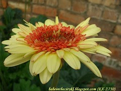 ch - cv cream orange gerberas