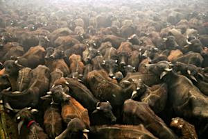 Sacrificial buffaloes stand in a holding pit before …