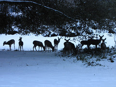 10 deer under the grand canyon