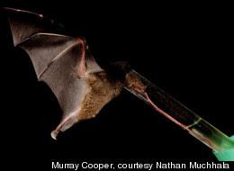 Bat Tongue