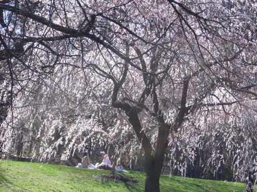 Picnic among cherry blossoms