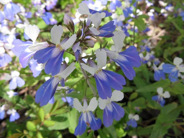 blue-eyed Mary