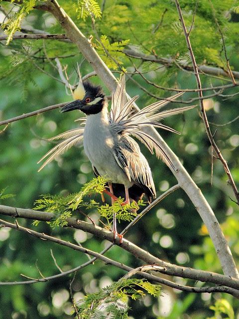 Yellow-crowned Night-Heron display 20130524