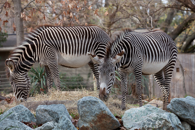 Zebras at the National Zoo