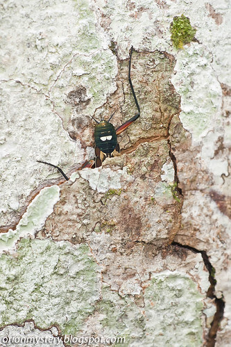 Metallyticus splendidus mantis IMG_5357 copy