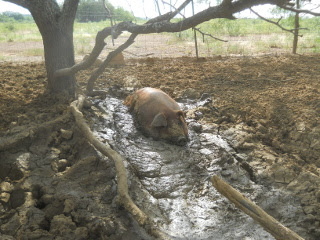 Duroc Pig Penelope in Her Mud Pit