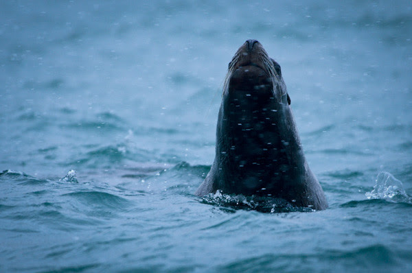20130119-DSC_0301NorthernSeaLion