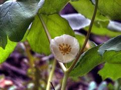 Mayapple Flower (Podophyllum peltatum)