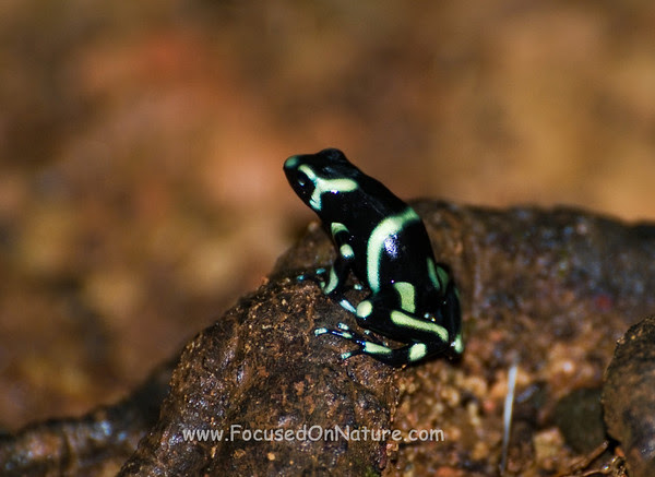 Black and Green Dart Frog