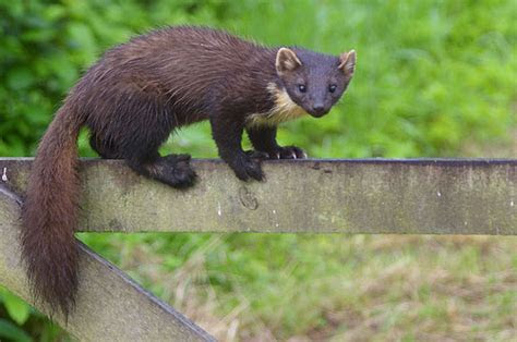 Pine Marten (European Pine Marten) Facts and Pictures   Coniferous Forest