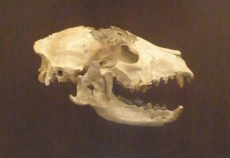 File:Tomarctus temerarius.JPG