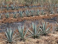 champ d'agaves