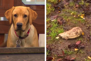 Dog Digs Up Woolly Mammoth Tooth Right In His Backyard