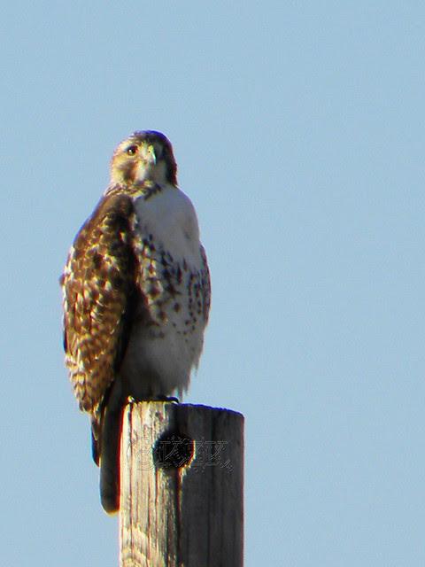 DSCN4640e Hawk