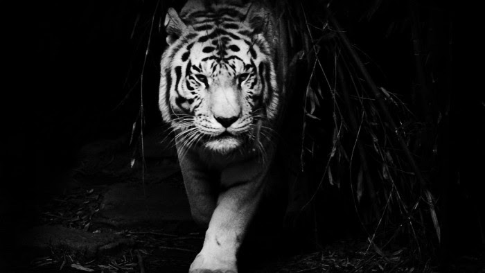 Black Tiger Wallpaper HD 07688 - Baltana