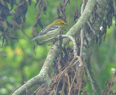 Black throated green warbler Fall