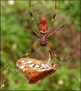 golden-silk-spider