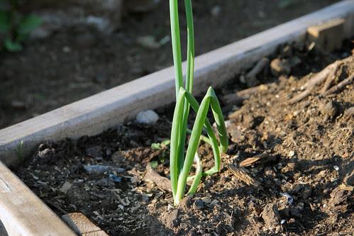 perennial onion
