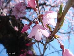 sakurai (6)