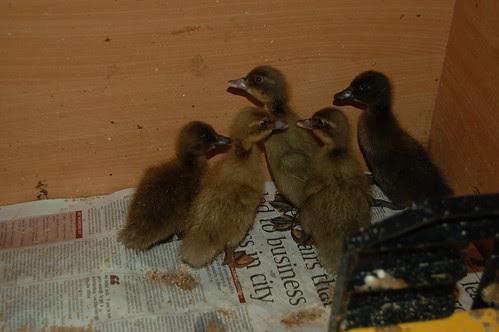 ducklings June 13 1