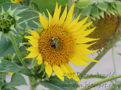 Bee_and_Sunflower1a