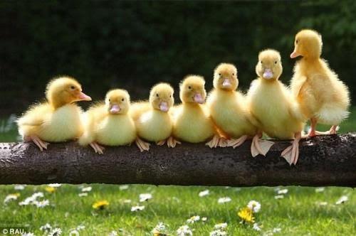 birds, ducks