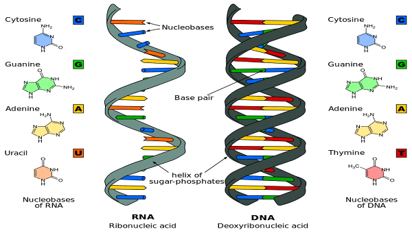 Rna Structure Diagram
