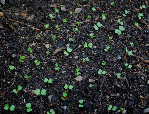 radish seeds mats