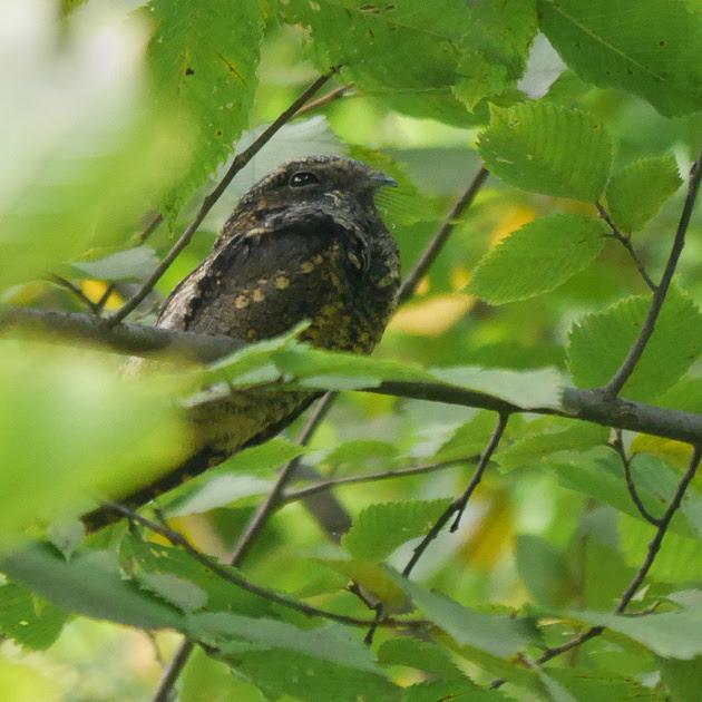 Ed Gaillard: birds &emdash; Eastern Whip-poor-will, Central Park